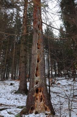 Specht_Baum